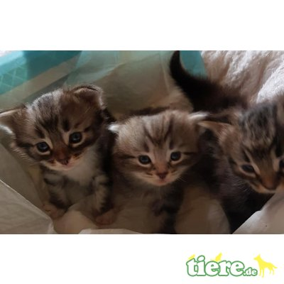 Sibirische Katze - Kater
