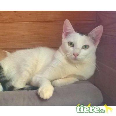 Sira, Ich suche liebevolles Zuhause - Katze