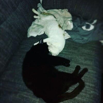 Suri, Europäische Kurzhaarkatze - Katze