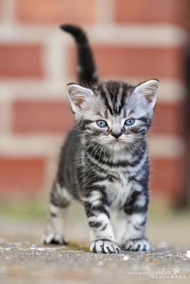 Tigerkinder aus der Mondubrg, Britisch Kurzhaar + Britisch Langhaar/ Highlander Jungtier - Kater