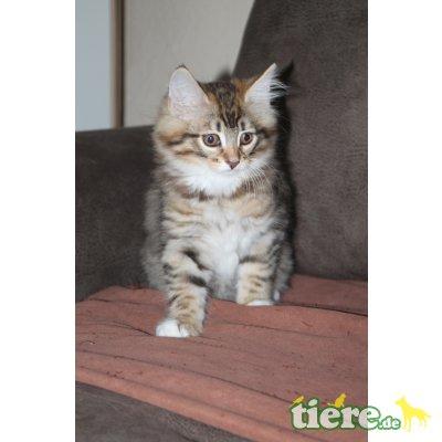 Tom, Jerry, Norwegische Waldkatze - Kater