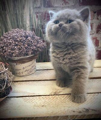 Usanne Und Delpi, Britisch Kurzhaarkatze - Katze 1