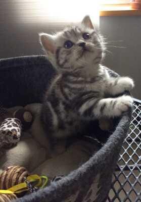 Usanne Und Delpi, Britisch Kurzhaarkatze - Katze