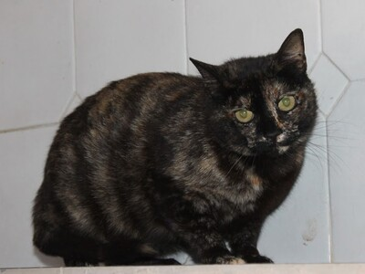 Vereda, Europäisch Kurzhaar - Katze