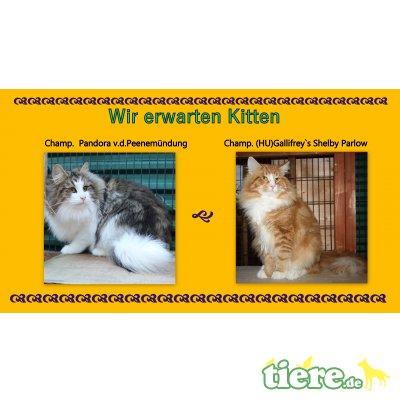 Wurfankündigung2020, Norwegische Waldkatze - Kater 1
