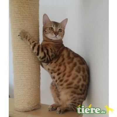 Zwei hübsche kastrierte Bengalen 2 Jahre (Kat, Bengalkatze - Kater