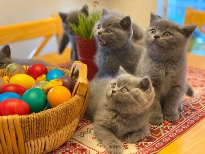 britisch Kurzhaar-Kätzchen, Britisch Kurzhaarkatze Jungtier - Katze
