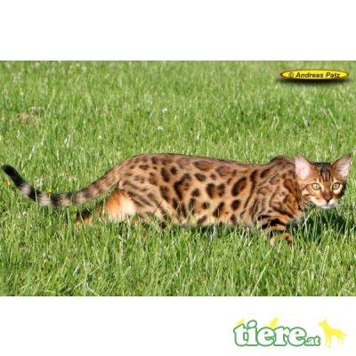 div. Kitten, Bengalkatze - Kater