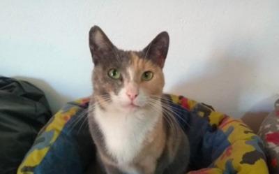 hübsche schüchterne Tris ( BEA ) - Katze