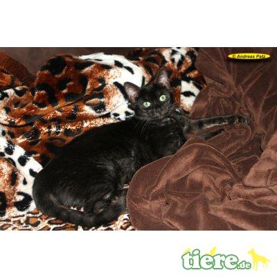 versch., Bengalkatze - Kater