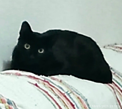zurückhaltende Mey (ALO) - Katze