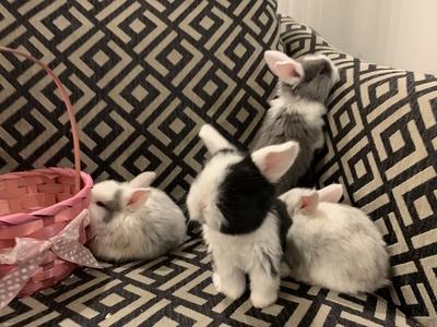Ab 19.03.2021 suchen süße Zwergwidder Babys ein schönes Zuhause, Zwergwidder und Zwergkaninchen Jungtier - unbekannt
