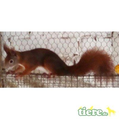 Baumhörnchen - weiblich
