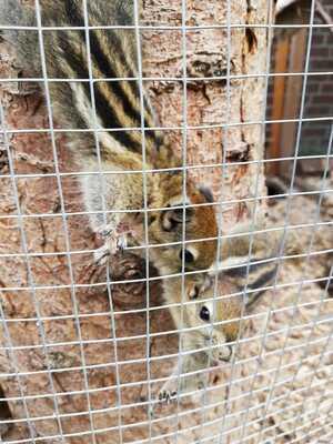 Chinesische Baumstreifenhörnchen, Baumhörnchen Jungtier - männlich