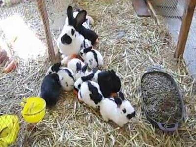 Deutsche Riesenschecken schwarz-weiß Jungtier - unbekannt 1