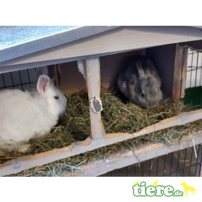 !Dringend Pflegeplatz für Kaninchen gesucht!!, Angora-Löwenkopf-Mix - weiblich