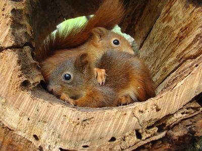 Eichhörnchen, Europäisches Eichhörnchen Jungtier - weiblich 1