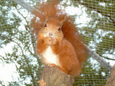 Eichhörnchen, Europäisches Eichhörnchen Jungtier - weiblich
