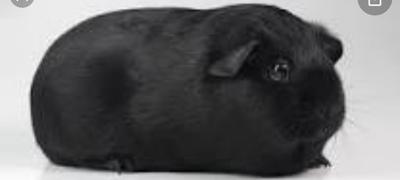 GH schwarz Zuchttiere, Glathaar - weiblich 1