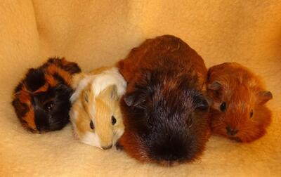 Junge Glatthaar California, Rosetten Meerschweinchen und Kastrat, Glatthaar Jungtier - männlich 1