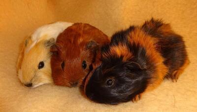Junge Glatthaar California, Rosetten Meerschweinchen und Kastrat, Glatthaar Jungtier - männlich