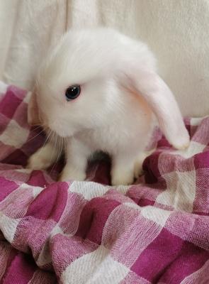 Kaninchen, Satin Jungtier - männlich 1