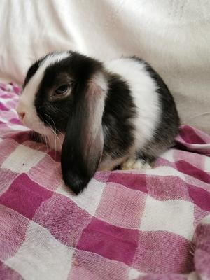 Kaninchen, Satin Jungtier - männlich