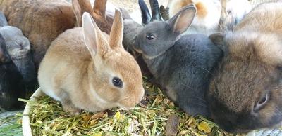 Kaninchen m/w Jungtier - männlich
