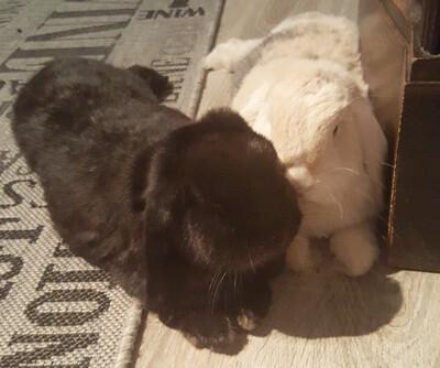 Maggie & Theodor, Widder-Kaninchen - männlich