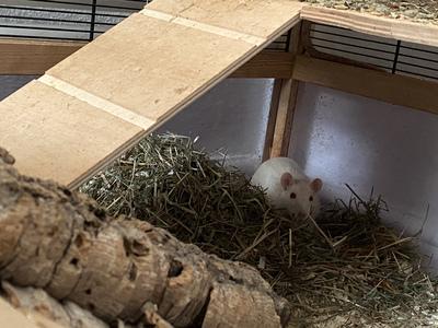 Mimi und Rudi, Farbratte - weiblich