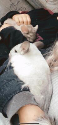 Nymeria, Emilia, Joey, Noah, Chinchilla Jungtier - männlich
