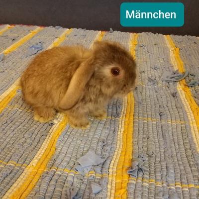 Süße Minilops und Löwenkopfmixkaninchen!, Mini Lop - unbekannt