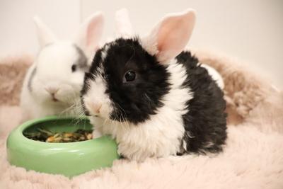 Süße Zwergwidder Babys suchen ein schönes Zuhause, Zwergwidder / NHD / Mini Lop Jungtier - weiblich