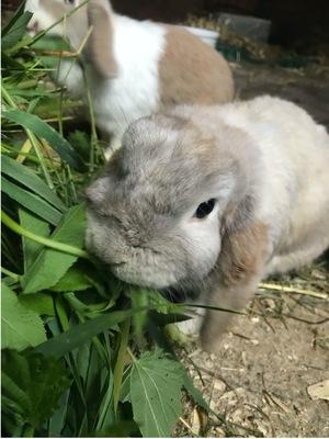 Tacco 🌮 ist auf der suche nach seinen neuen Karottengeber💗 er kann auch seine Freundin mitbringen, Mini Lop - männlich 1