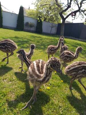 Emu Küken Jungtier - weiblich 1