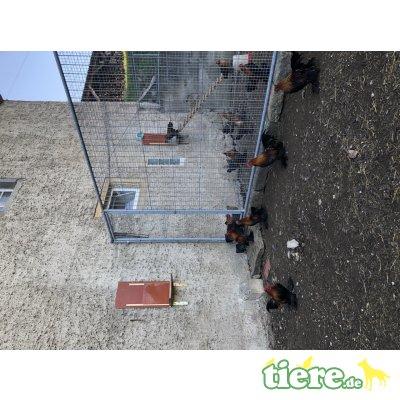 Federfüßige Zwerghühner - männlich