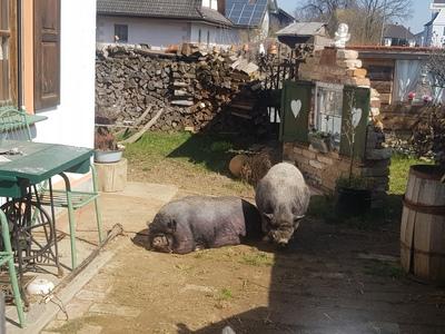 Hängebauchschwein - weiblich 1