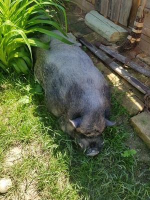 Hängebauchschwein - weiblich