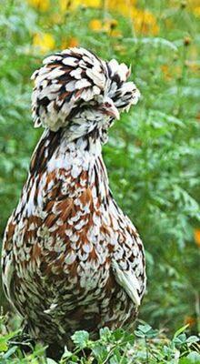 Hühner Jungtier - weiblich