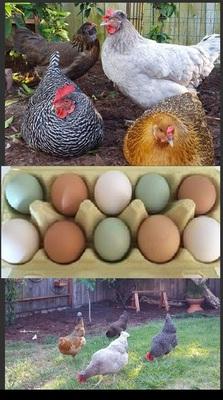 Hühner - weiblich