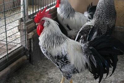 Italiener Huhn - männlich