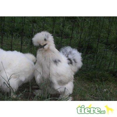 Seidenhühner - weiblich