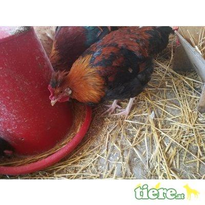 Sulmtaler Huhn - männlich