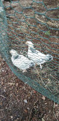 Sundheimer Hühner Jungtier - weiblich