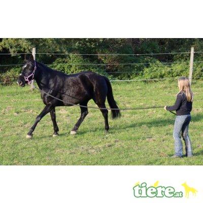Bella, Quarter Horse x Reitpony - Stute