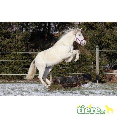 Camargue Pferde zu verkaufen, Camargue Pferd - Stute