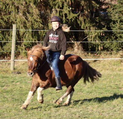 Daan, Shetland Pony - Wallach 1