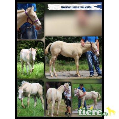 Dears Bailys Bandito, Quarter Horse - Hengst 1