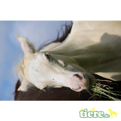 Dears Bailys Bandito, Quarter Horse - Hengst