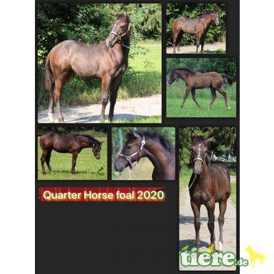 Dears Dun it Siska, Quarter Horse - Stute